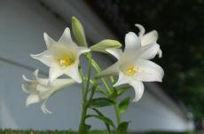 市の花ユリ