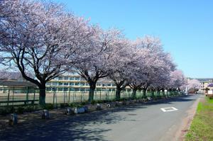桜の城西小学校