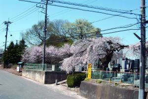 林古墳群としだれ桜