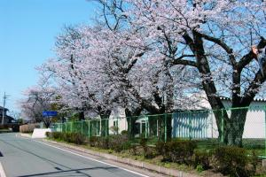 旧絹川中学校跡の桜