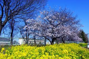 山川小学校と周辺の桜