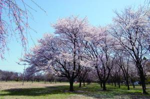 日本花の会の桜