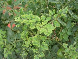 トマト黄化葉巻病1